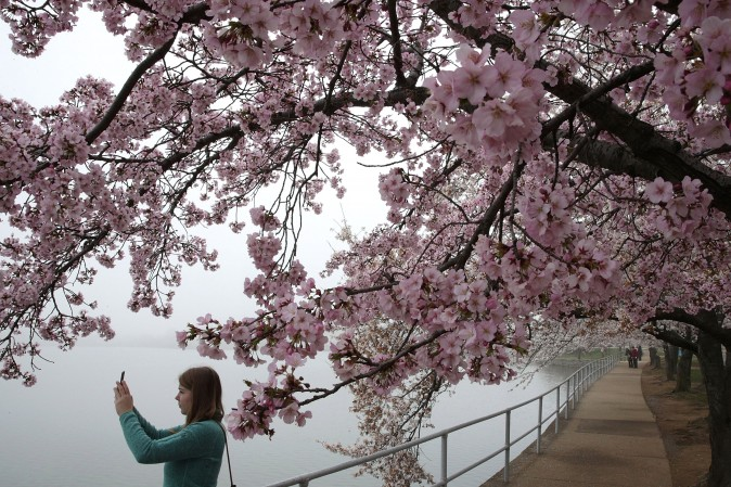 A visitor takes photos as cherry trees around Tidal Basin are in peak bloom in Washington on March 27, 2017. The blossoms survived after a late snowstorm froze and killed more than half of the Yoshino cherry blossoms two weeks ago. (Alex Wong/Getty Images)