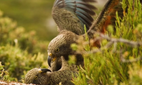 New Zealand Parrot Found to Have a Contagious Laugh (Video)