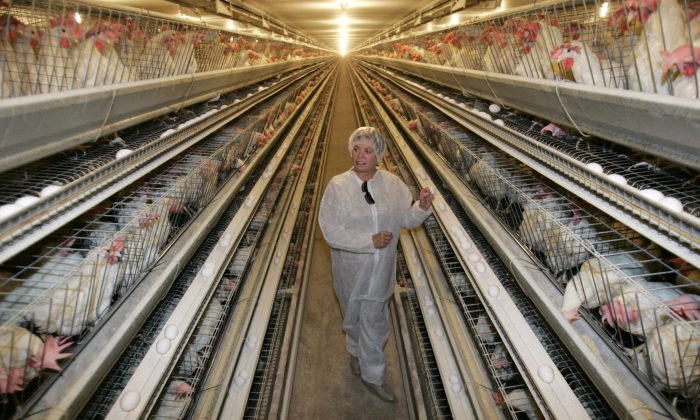 Hens in cages at Dwight Bell Farm in Atwater, California. (AP Photo/Marcio Jose Sanchez, File)