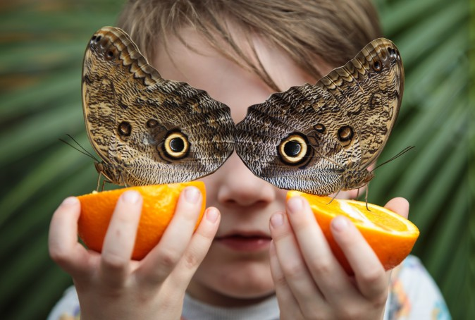 George Lewys, age 5, holds two orange slices with two Forest Giant Owl butterflies (Caligo eurilochus) on them at the Natural History Museum in London on March 30, 2017. The Natural History Museum's Butterfly House features an array of butterflies and chrysalises. (Jack Taylor/Getty Images)