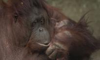 This Critically Endangered Newborn Orangutan Will Melt Your Heart (Video)