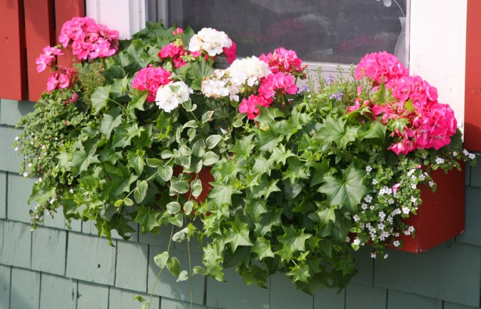 Pink and white  geraniums, white lobelia, and ivy lend a beautiful spray of colour to this window. (V J Matthew/Shutterstock)