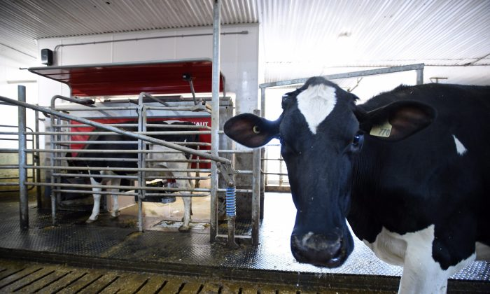 """A dairy cow waits to be milked at a farm in Eastern Ontario on April 19, 2017. U.S. President Donald Trump took a swipe at Canada's supply-managed dairy sector as he unveiled his """"Buy American-Hire American"""" executive order on April 18. (The Canadian Press/Sean Kilpatrick)"""
