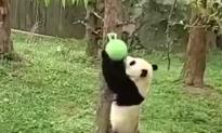 Watch Giant Panda Joyfully Wrestle a Ball (Video)