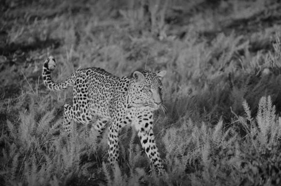 A leopard at Okavango Delta in Botswana in 2015. (Lysander Christo)