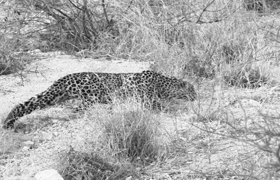 A leopard in Kenya in 2002. (Cyril Christo and Marie Wilkinson)