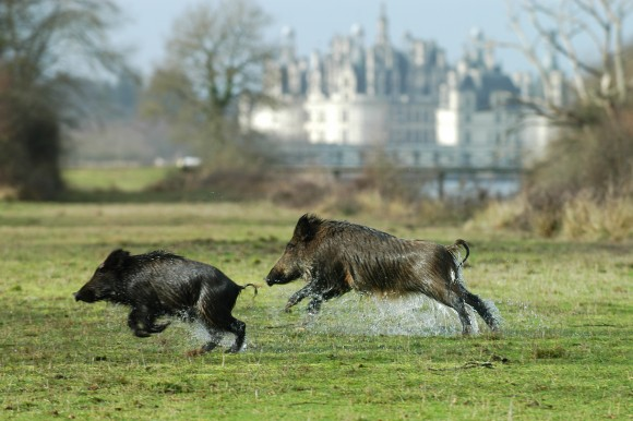 Wild boar -Chateau of Chambord: Wild boar dash across the 12,000 acre estate just like they would have in the 1500's. (Courtesy of Chateau of Chambord)