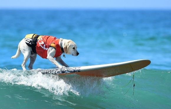 One of the surfers at the 7th annual Surf City Surf Dog contest in Huntington Beach, California on Sept. 27, 2015. (Photo credit should read (FREDERIC J. BROWN/AFP/Getty Images)