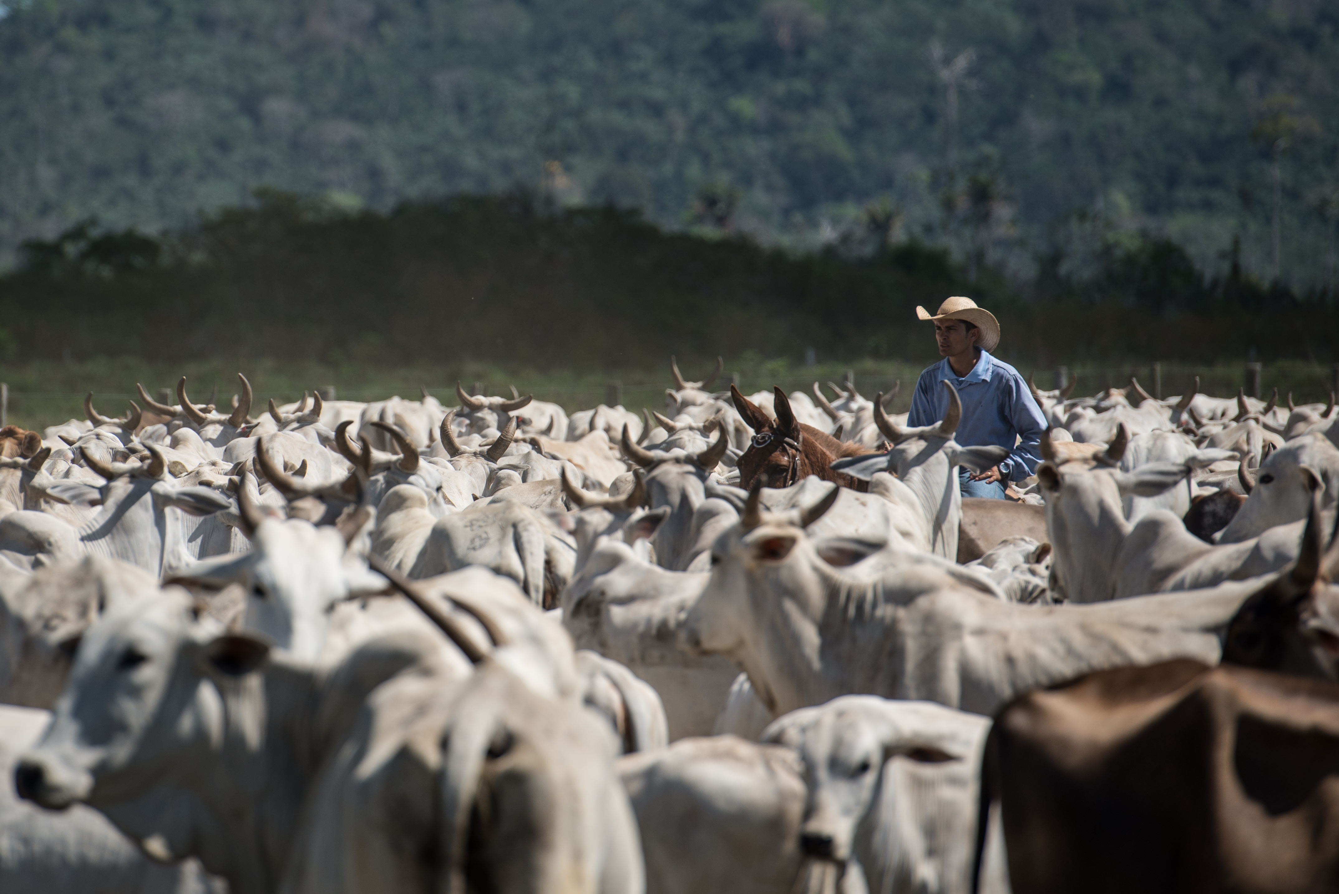 A cowboy drives cattle at a farm in Sao Felix do Xingu, Para state, northern Brazil, on Aug. 8, 2013. (Yasuyoshi Chiba/AFP/Getty Images)