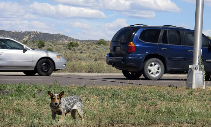 File photo shows dog searches for food along a highway median on the Navajo Nation in New Mexico, where a dog-mauling killed a 3-year-old boy. Leaders on the Little Grand Rapids reserve in Manitoba are planning a cull of stray dogs after the recent mauling death of a 24-year-old woman. (AP Photo/Jeri Clausing)