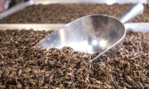 Insects Are Making Their Way Into the American Diet