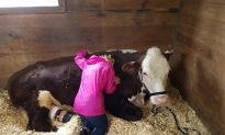 After Escaping a Slaughterhouse, Steers Get Second Chance at Life