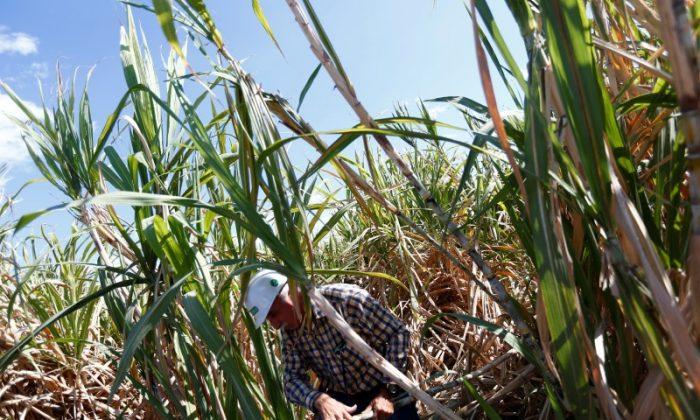 A worker is seen between sugar cane plants in a field near the Emiliano Zapata sugar mill in Zacatepec de Hidalgo, Morelos state, Mexico on March 7, 2015. (REUTERS/Edgard Garrido)