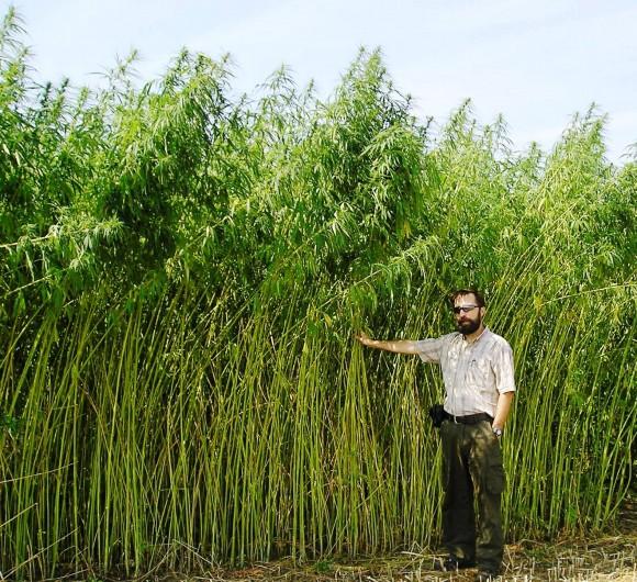 Jan Slaski with a fibre-type hemp crop in Alberta. Slaski is a leading hemp expert with Alberta Innovates Technology Futures, a government-funded centre where he studies the many uses of hemp. (Courtesy of Jan Slaski)