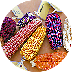There are thousands of different types of corn in the world.