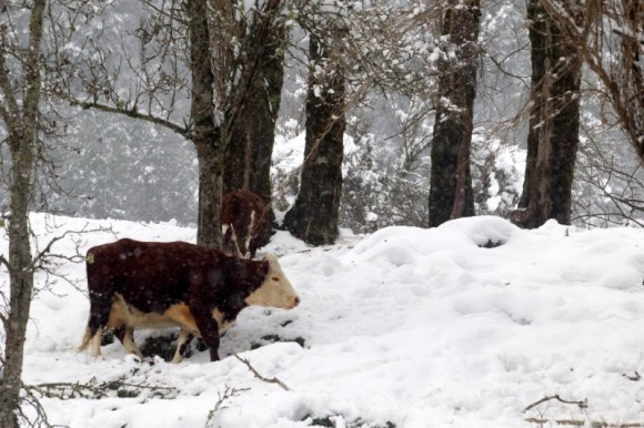 A cow is seen, after great snowfall at the outskirts of Coyhaique city, south of Chile  June 16, 2017. REUTERS/Alvaro Vidal