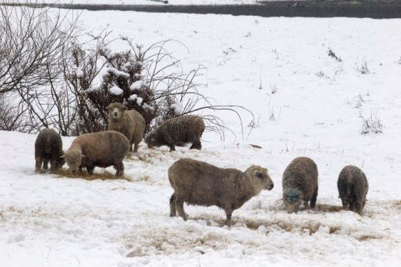 A herd of sheep is seen, after great snowfall at the outskirts of Coyhaique city, south of Chile  June 16, 2017. (Reuters/Alvaro Vidal)