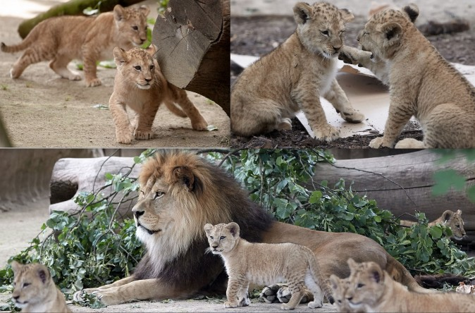 Barbary lions and their father Schroeder, are in a zoo in Neuwied, western Germany, on June 26. Five Barbary lion babies were born at the zoo on April 19. (THOMAS FREY/AFP/Getty Images)