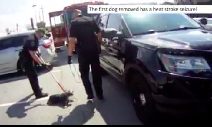 A dog having a seizure after being removed from a hot car in Georgia on July 2, 2017. (Courtesy of Roswell City Police)