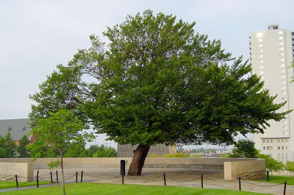 The Survivor Tree at the Oklahoma City National Memorial and Museum, so called because it was damaged so severely after the 1995 bombing of the Alfred P. Murrah Federal Building that it wasn't expected to survive. An inscription near the tree reads: