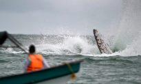 A whale calf dies in shark nets off Australia's Gold Coast