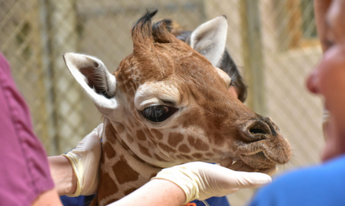 Giraffe calf Julius, who died despite two plasma transfusions and round-the-clock medical care for a month. (Maryland Zoo)