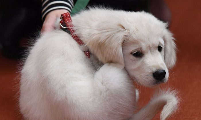 A Golden Retriever puppy named Teddy attends the American Kennel Club's announcement of the Top Breeds of 2014 at a news conference February 26, 2015 in New York. (DON EMMERT/AFP/Getty Images)