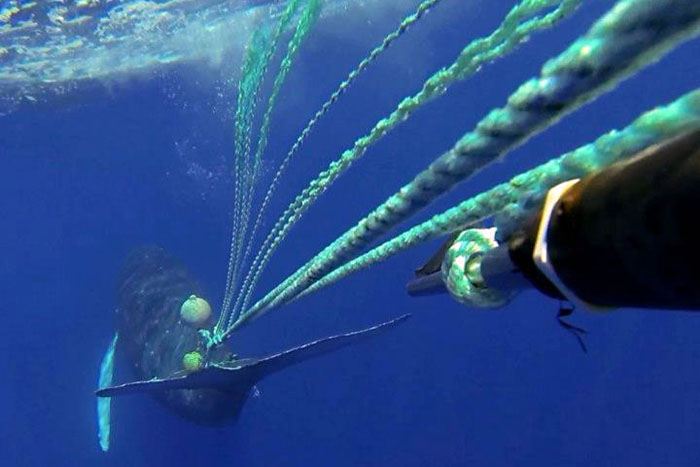 A response team led by the Hawaiian Islands Humpback Whale National Marine Sanctuary, working closely with NOAA Fisheries, successfully rescued an entangled humpback whale in 2013 (NOAA)