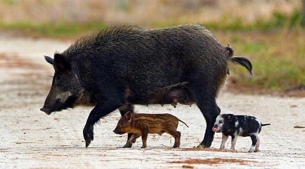 Feral hog with piglets. (National Parks Service)