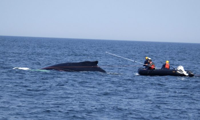 Trained rescue personnel from NOAA and the Provincetown Center for Coastal Studies carefully approaching a humpback whale using specially-designed equipment to safely remove the entangling lines (NOAA)