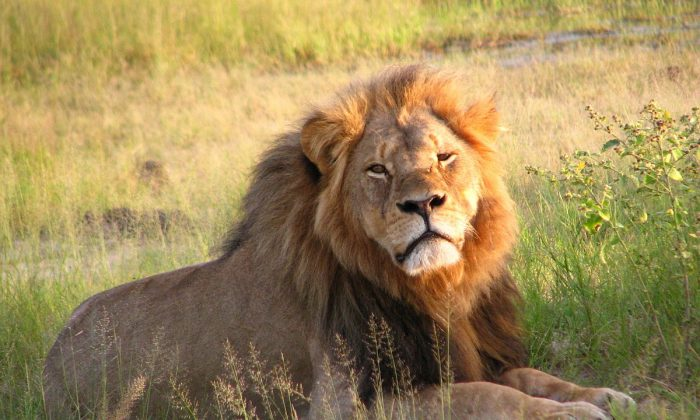 File photo of Cecil the lion at Hwange National Park, Zimbabwe, in 2010. (Creative Commons)