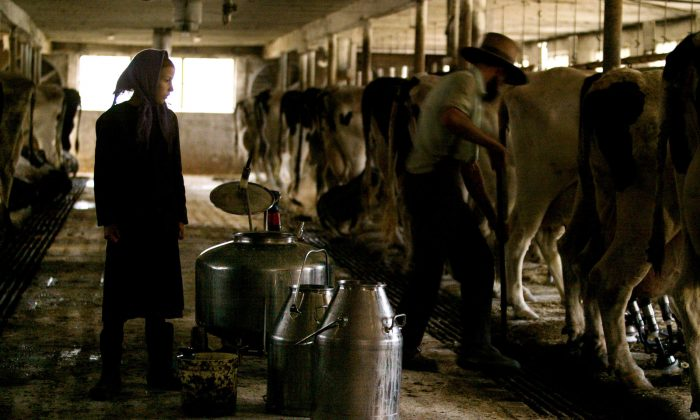 An Amish girl watches her father milk cows on Oct. 22, 2003 in Wakefield, Pennsylvania. (Chris Hondros/Getty Images)