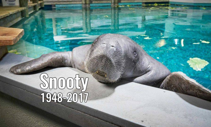 Snooty the Manatee (South Florida Museum)