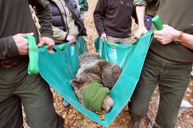 French and Slovenian veterinarians carry a captured Slovenian bear for transport on 24 April 2006 (STRINGER/AFP/Getty Images)