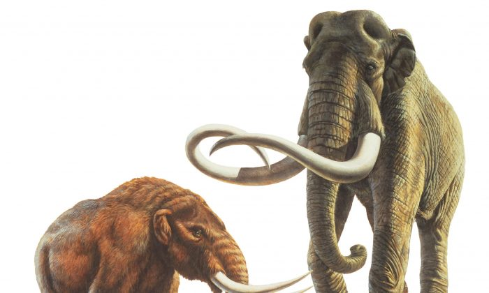 Illustration of a mastodon (left) and an adult mammoth (right)