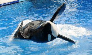 Last Captive-Bred SeaWorld Orca Dies