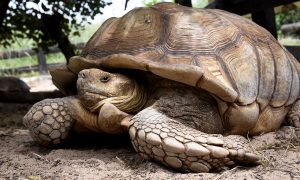 100-Pound Stolen Tortoise Recovered by Police in New York City