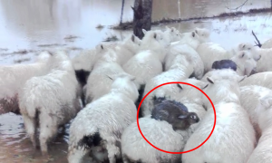 Rabbits Ride Sheep to Escape Flood in New Zealand
