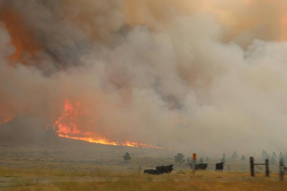 Cattle are seen near the flames of the Lodgepole Complex fire in Garfield County, Montana, U.S. July 21, 2017. (BLM/Pete McFadden/Handout via Reuters)