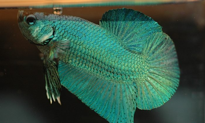 A male Siamese fighting fish. (Daniella Vereeken [Creative Commons Attribution 2.0 Generic goo.gl/sZkFgM] via Wikimedia Commons)