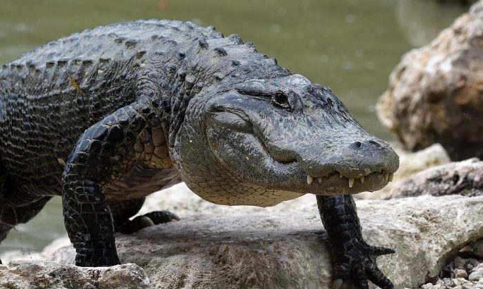 An American Alligator walks out of the alligator lagoon at Everglades Alligator Farm in Homestead, Florida, on June 24, 2016. (RHONA WISE/AFP/Getty Images)