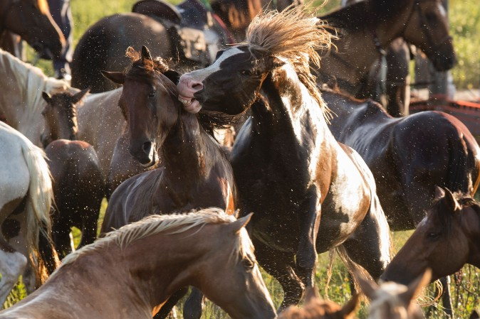 Assateague wild ponies rear up on each other during the annual Chincoteague Island Pony Swim in Chincoteague Island, Va., on July 26, 2017. (JIM WATSON/AFP/Getty Images)