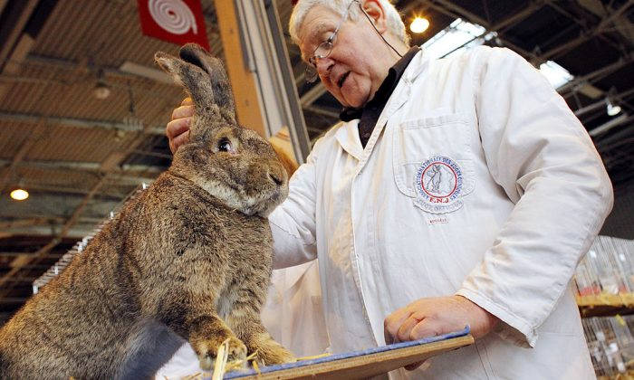 A man, specialized in domestic rabbits, takes a look at a Giant rabbit of Flandres for a contest. (PATRICK KOVARIK/AFP/Getty Images)