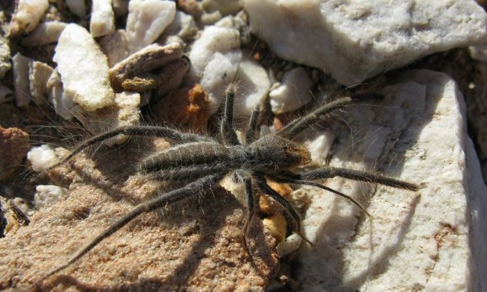 Modest-sized Solifugid near Uniondale, Western Cape, South Africa (User:  JonRichfield/ Creative Commons Attribution-Share Alike 3.0 Unported)