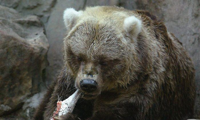 A bear enjoys an Atlantic salmon. (Photo by Mark Metcalfe/Getty Images)