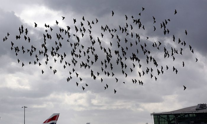 A flock of starlings fly past the tail fins of British Airways planes.  (Photo by Dan Kitwood/Getty Images)