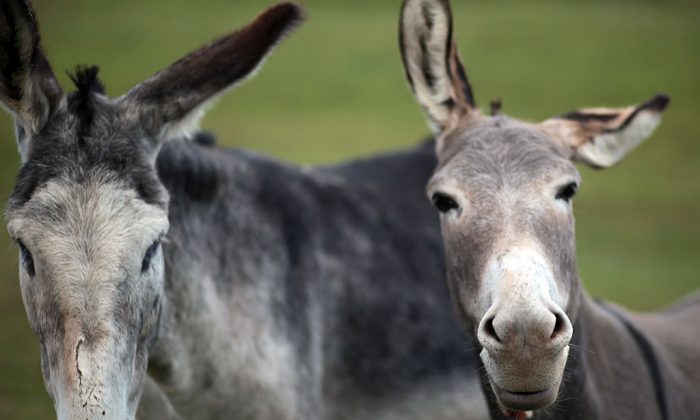 A pair of donkeys. (Photo by Matt Cardy/Getty Images)