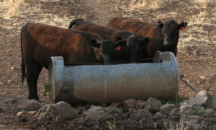Cattle drink water from a trough as they graze in the hills.  (Photo by Justin Sullivan/Getty Images)
