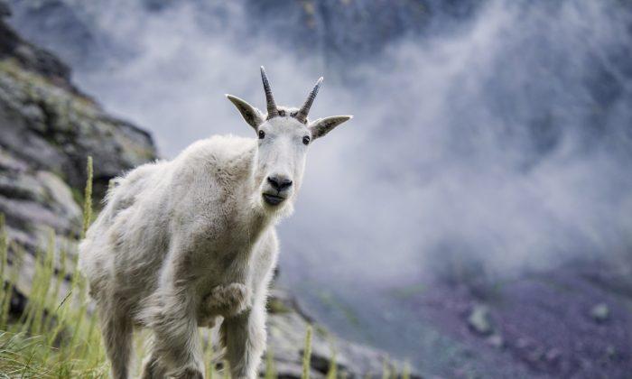 A Rocky Mountain Goat, Oreamnos americanus. (Pixabay)