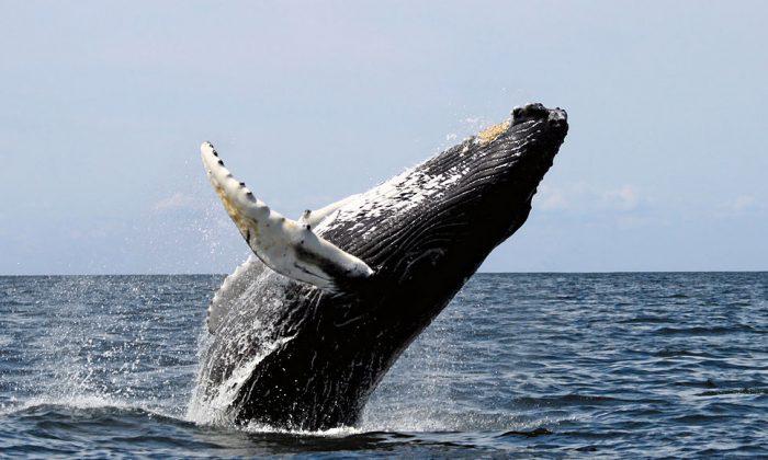 Humpback whale. (By Whit Welles Wwelles14  [GFDL (http://www.gnu.org/copyleft/fdl.html)  via Wikimedia Commons)